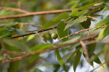 Flacourtia rukam or Indian plum or Jamaican cherry .