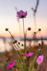 Cosmos blooming on the coast