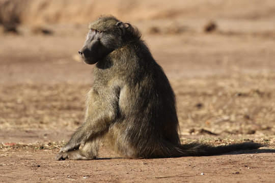 Male Chacma baboon in Kruger National Park, South Africa