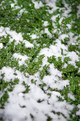 Bushes boxwood in snow