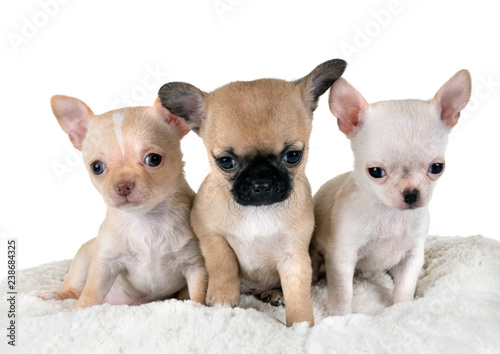 Puppies Chihuahua In Studio Stock Photo And Royalty Free Images On