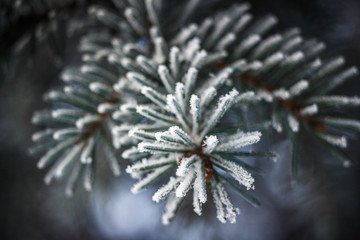 Frosty fir branches as a Christmas background banner
