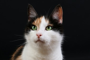 beautiful tricolored cat head portrait in the dark studio