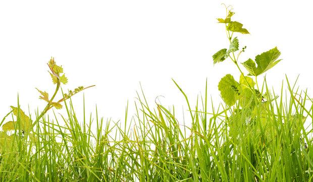 brins d'herbe et pampres de vigne, fond blanc