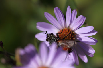 Hairy fly on purple asters. Beautiful ugliness ...