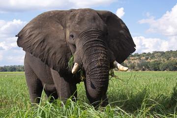 Elephant in Chobe National park in Botswana in Africa