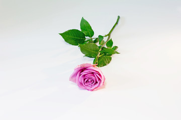 Flower picture. Fresh cut beautiful rose at white table background