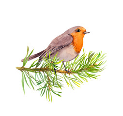 Robin bird on fir tree branch. Watercolor