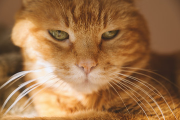 Sleepy red cat. Selective focus on nose.