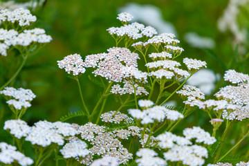 Achillea millefolium (yarrow) white wild flower.