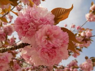 八重桜 「関山」 Sakura Cherry Blossom 「Sekiyama」「kanzan」