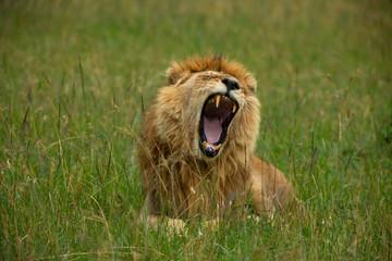 Famous one-eyed lion Ben from Maasai-Mara