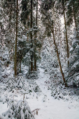 snowy winter forest. beech and spruce trees covered with snow