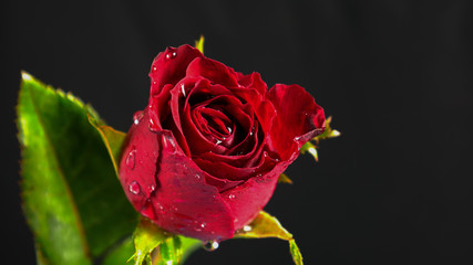 red rose on black background, beautiful  red rose on isolate black, rose budding,