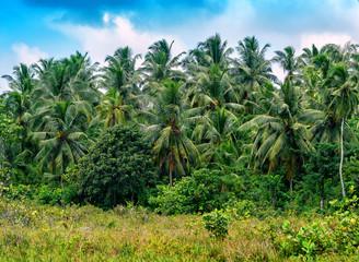 coconut palms in the jungle