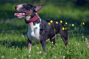 miniature bull terrier on grass and yellow flowers