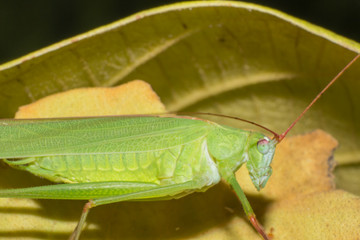 Green grasshopper on brown leaf, macro of insect, the animal wildlife