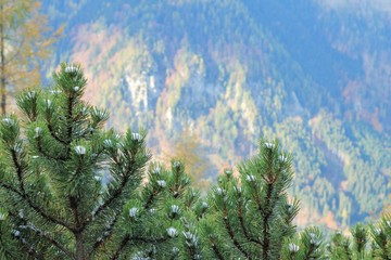 An image of a fir tree branch of fir with cones and snow on a green yellow hills background, first snow landscape, autumn blur background.