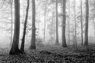 Forest in Autumn, Fog and Rain, Black and White
