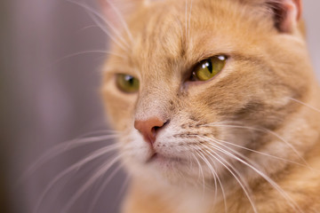 Face cat with orange fur. Facial expression of the cat with iserious feeling