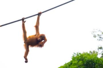 Foto op Canvas Aap Little orangutan on the rope