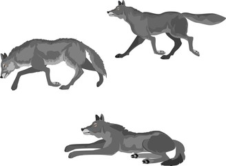 Wolves in different poses isolated on white vector, grey colors.