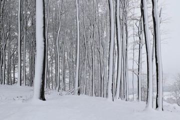 Winter in the beech forest. Beautiful winter landscape with trees.
