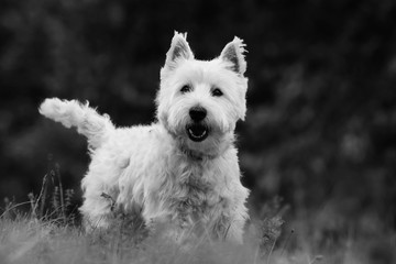 Westie. West Highland White terrier standing in the grass. Portrait of a white dog. Black and white photo