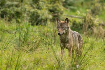 Acrylic Prints Wolf Wolf on the meadow. Bieszczady Mountains. Poland.
