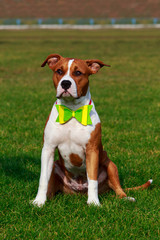 Dog breed Staffordshire Terrier