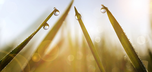 Wall Mural - Spring grass with dew drops at sunrise. Nature Background.