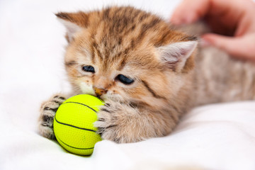 Little red British kitten playing with a yellow ball. A small British cat caught a yellow ball with his paws and sniffs it.