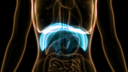 Human Diaphragm Anatomy