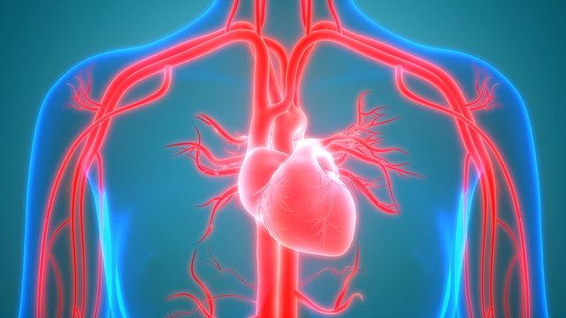 Human Circulatory System Anatomy