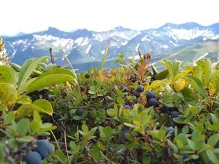 Bluberry in Kamchatka