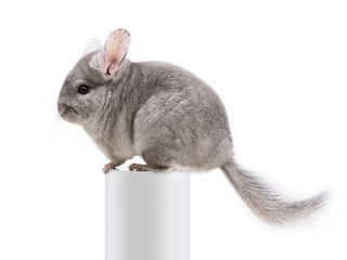 The cute furry chinchilla sitting on a white tube