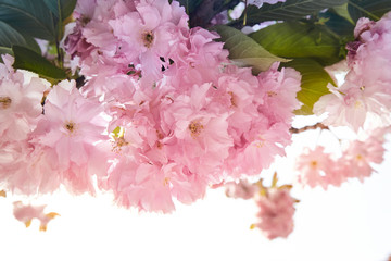 background of spring pink sacura