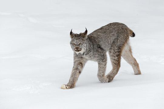 Canadian Lynx (Lynx canadensis) Walks Left Ears Back