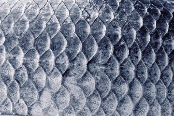 Crucian carp scales, natural texture, toned