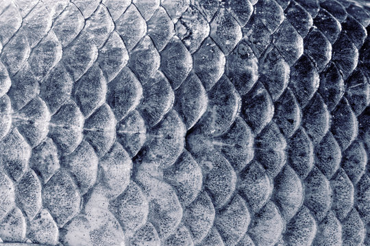 Crucian carp scales, natural texture, toned