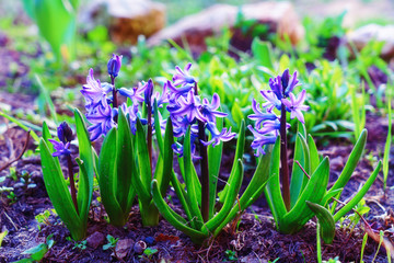 Blue hyacinth blooming in garden, toned