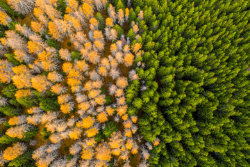 Aerial view of autumn colored forest. Drone shot bird eye. Natural pattern in top down aerial view over the forest. green and yellow forest. Larch and spruce forest. Scenic landscape from above.