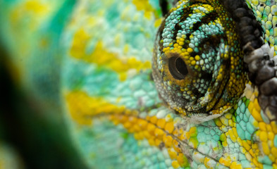 green yellow chameleon