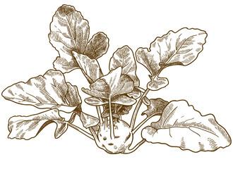 engraving illustration of kohlrabi