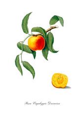 Vintage peach illustration. Watercolour art