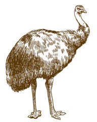 engraving illustration of Emu ostrich