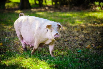 pig standing on a grass lawn. Healthy pig on meadow
