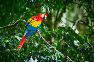 Scarlet Macaws, Ara macao, bird sitting on the branch. Macaw parrots in Costa Rica. Love scene from fain forest.