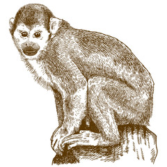 engraving illustration of squirrel monkey