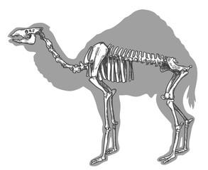 engraving illustration of camel skeleton